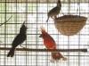 cardinale-vermiglio-1.jpg