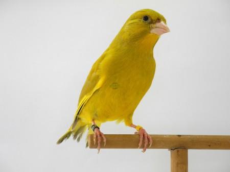 Isabella giallo dominante