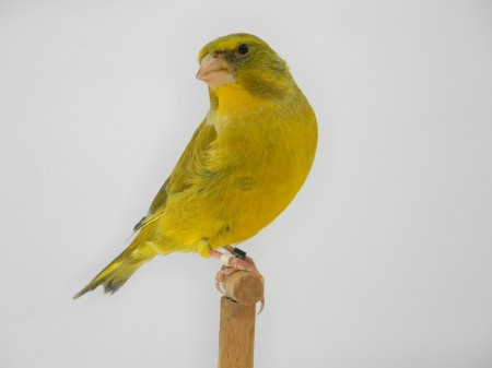 Agata giallo dominante